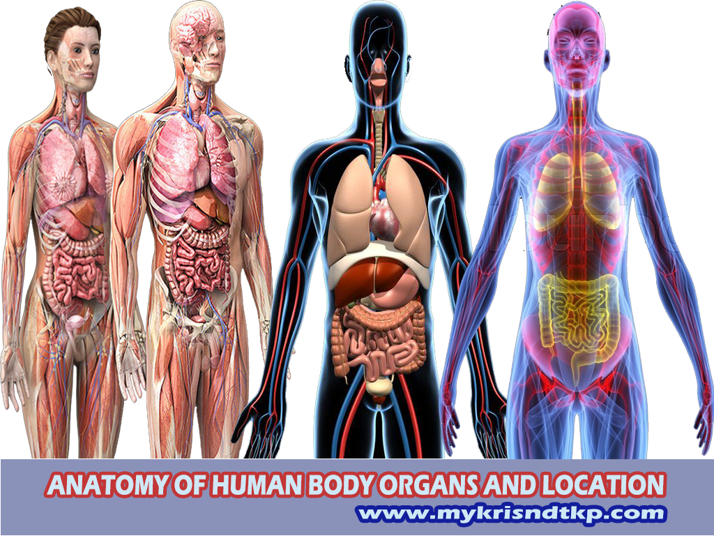Anatomy Of Human Body Organs