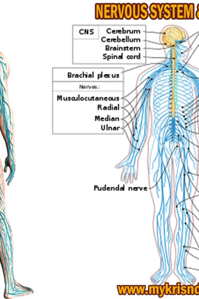 nerves system and function in human