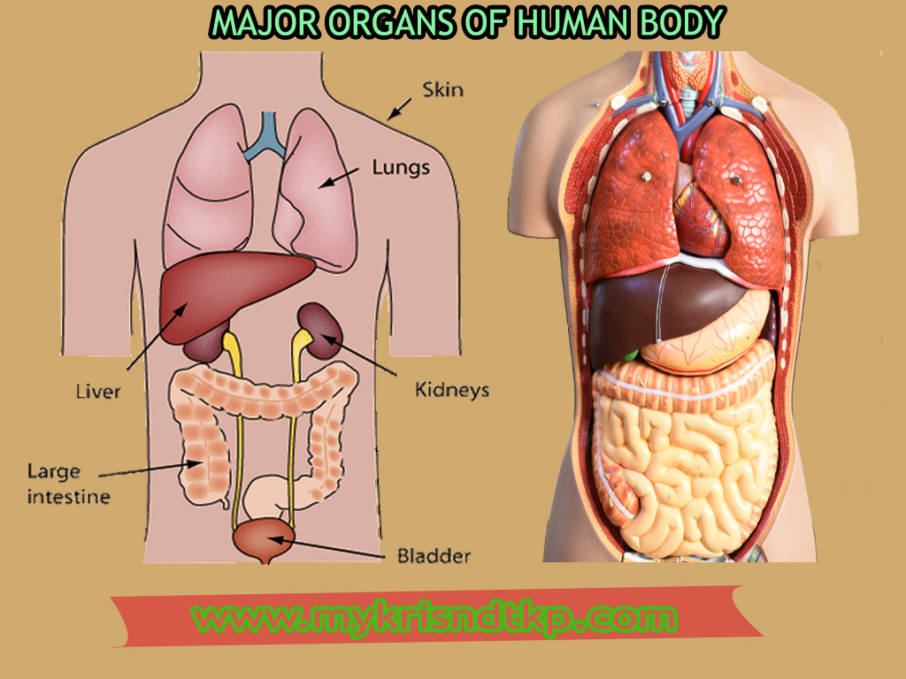 List Of Major Organs Of The Human Body